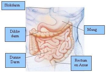 overzicht-abdominaal-stelsel