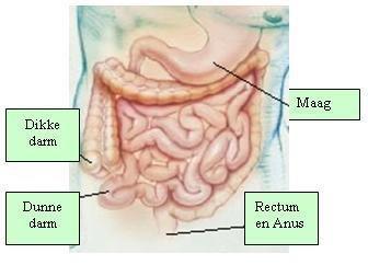 overzicht-maag-darm-stelsel